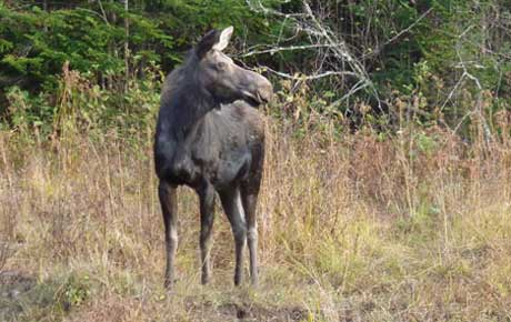Maine cow moose lottery