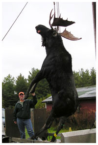 Trophy Moose Hunting