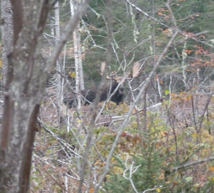 Trophy moose hunting photos from maine at ross lake camps for Maine hunting and fishing license